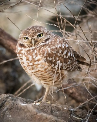 Burrowing Owls_011419A